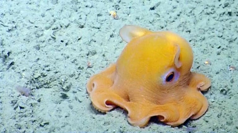 bạch tuộc dumbo