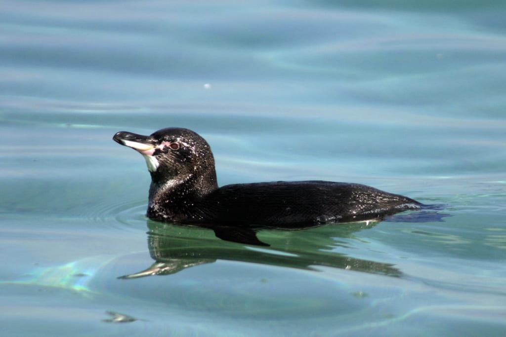 chim cánh cụt Galápagos