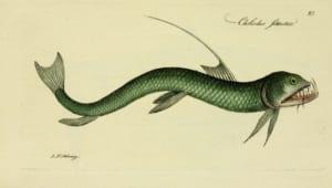 cá rắn viper