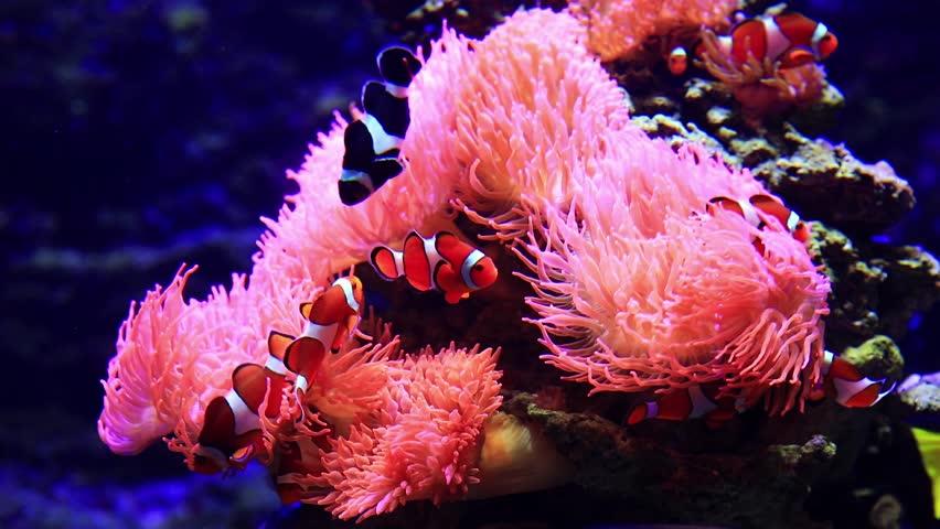 hải quỳ sinh sản như thế nào