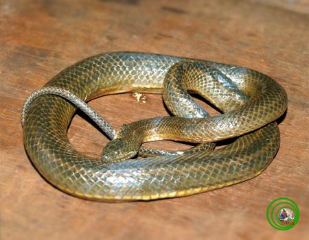 rắn bông súng