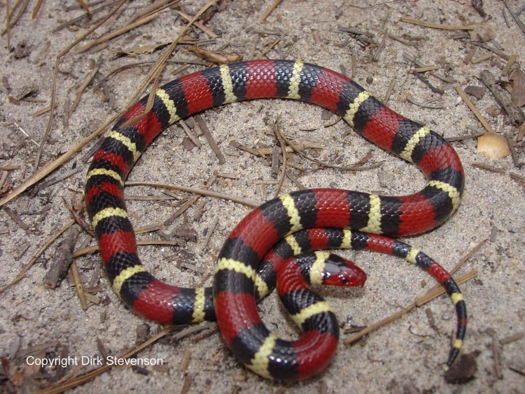 rắn không độc