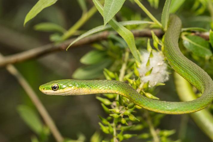 rắn lục cỏ