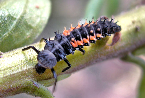 Ấu trùng củabọrùa Harmoniasp., Một con bọ rùa.Ảnh củaLee Ruth, BugGuide.net.