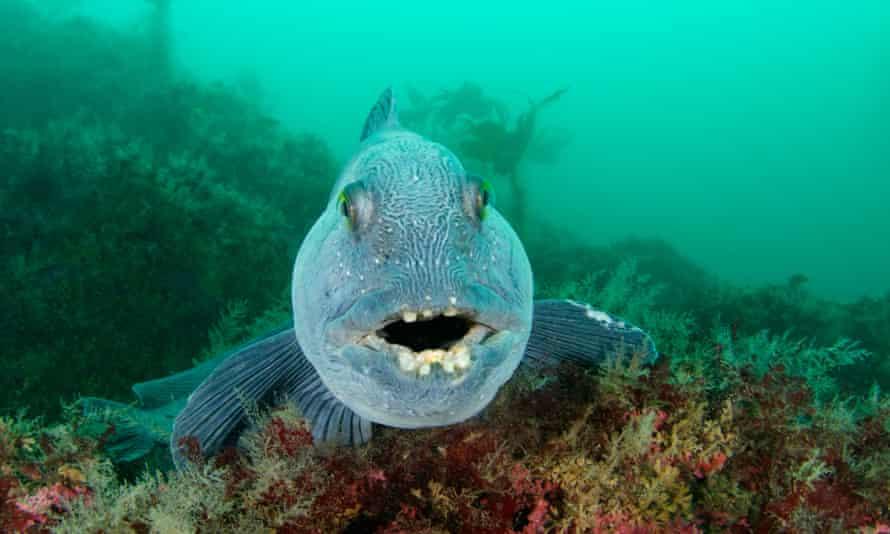 cá sói biển