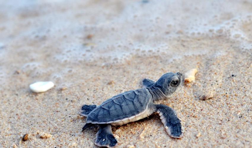 rùa biển con