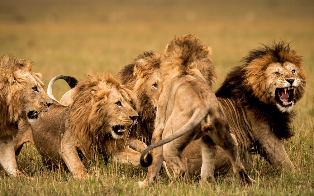 đặc điểm của sư tử