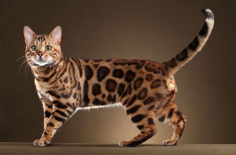 mèo rừng việt nam