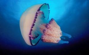 sứa biển là con gì